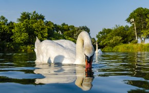 Картинка white, swan, bird, park, canada, animal, toronto, bird park, humber bay park