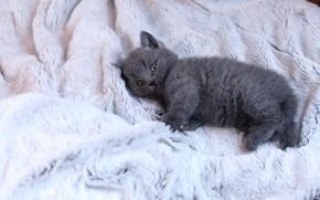 Картинка кошка, взгляд, поза, котенок, серый, фон, светлый, малыш, лежит, мех, котёнок, британский