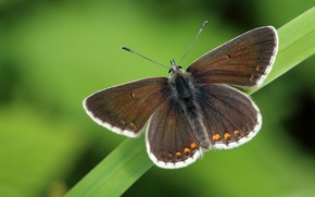 Картинка макро, фон, бабочка, листок, растение, насекомое, крылышки, коричневая, травинка