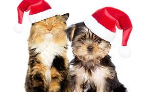 Картинка кошка, собака, Новый год, колпак