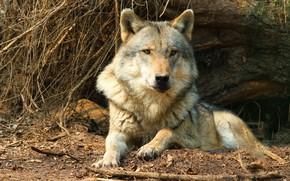 Обои взгляд, морда, ветки, поза, серый, дерево, волк, хищник, лежит, дикая природа