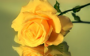 Картинка стекло, отражение, роза