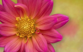 Картинка цветок, фон, георгина