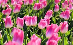 Картинка поле, листья, свет, цветы, поляна, весна, тюльпаны, розовые, бутоны, много