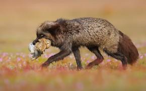 Картинка лиса, охота, зверь