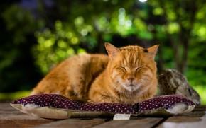 Картинка зелень, кошка, кот, морда, природа, фон, отдых, доски, сон, рыжий, спит, лежит, подушка, котэ, боке