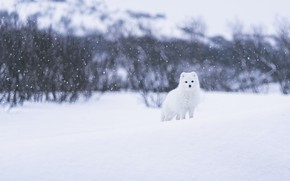 Картинка зима, лес, белый, взгляд, морда, снег, ветки, природа, поза, сугробы, светлый фон, снегопад, кусты, песец