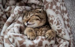 Картинка лапки, мордочка, плед, котёнок, спящий, Edgars Gerskovics