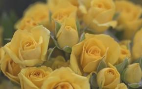 Картинка розы, бутоны, желтые