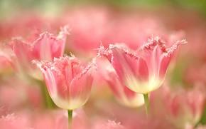 Картинка лепестки, тюльпаны, бахрома