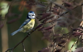 Картинка осень, ветки, природа, птица, синица, лазоревка