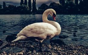 Картинка белый, галька, темный фон, птица, берег, лебедь, водоем