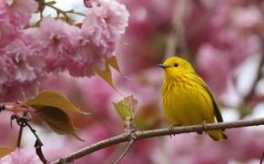 Картинка цветы, ветки, желтый, фон, розовый, птица, весна, сакура, цветение, боке, лесной певун