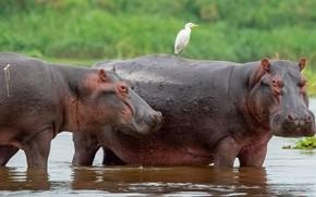 Картинка вода, птица, купание, пара, бегемот, два, водоем, бегемоты, цапля