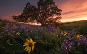 Картинка поле, небо, облака, закат, цветы, дерево, холмы, вечер, желтые, склон, луг, Орегон, Вашингтон, США, много, …