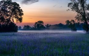 Картинка поле, лес, лето, деревья, цветы, туман, рассвет, поляна, утро, синие, заря, лесополоса, люпины