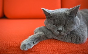 Картинка кот, диван, котик, лапки, спит