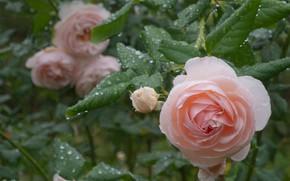 Картинка листья, капли, розы, бутон