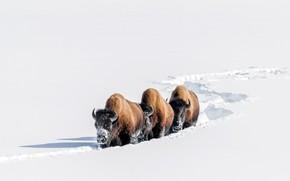Картинка зима, снег, бизоны