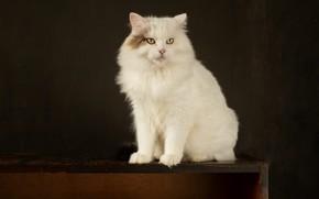Картинка кошка, кот, взгляд, поза, темный фон, стол, мордочка, белая, сидит, фотостудия