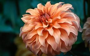 Картинка цветок, макро, фон, оранжевая, георгина