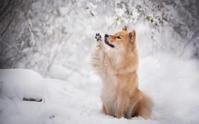 Картинка зима, снег, ветки, собака, рыжая, снегопад, евразиер