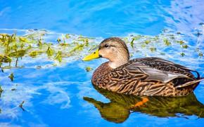 Картинка птица, утка, водоем