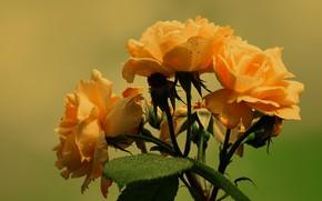 Картинка цветы, оранжевый, розы, букет