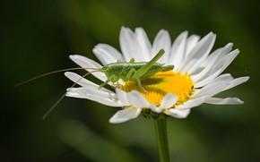 Обои цветок, макро, кузнечик