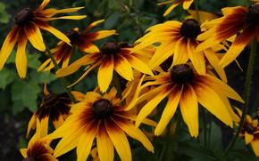 Картинка макро, цветы, яркие, куст, желтые, оранжевые, рудбекия