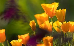 Картинка свет, цветы, яркие, размытие, желтые, лепестки, оранжевые, бутоны, много, зеленый фон, боке, эшшольция