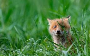 Картинка зелень, трава, взгляд, природа, поза, зеленый, фон, малыш, рыжий, лиса, сидит, лисенок, лисёнок
