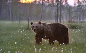 Картинка поле, взгляд, природа, медведь, мишка, бурый, хлопчатник