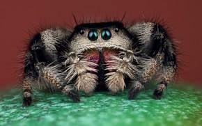 Картинка глаза, макро, поза, зеленый, фон, черный, лапки, паук, мохнатый, коричневый, прыгун, джампер, паучок, скакунчик, прыгунчик, …