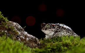 Картинка камень, мох, лягушка, черный фон, жаба, боке, пятнистая