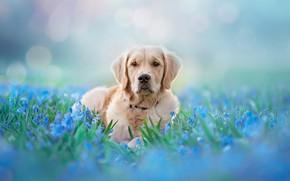 Обои взгляд, морда, свет, цветы, природа, поза, фон, голубой, поляна, нежность, портрет, собака, весна, голубые, лежит, ...