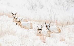 Картинка зима, снег, природа, холм, снегопад, лежат, квартет, антилопы, сухая трава, вилорог, вилорогая антилопа