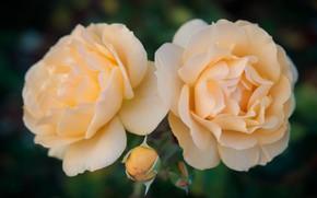 Картинка макро, роса, розы, лепестки, бутон, дуэт, жёлтые