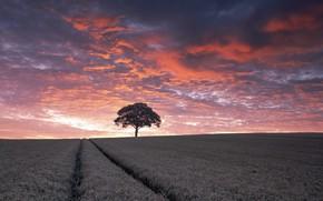 Картинка поле, лето, закат, природа, дерево, колосья