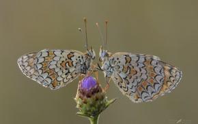 Картинка макро, бабочки, роса