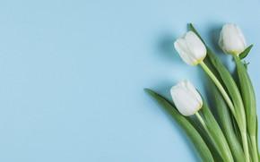 Картинка цветы, тюльпаны, white, белые, flowers, beautiful, голубой фон, tulips, spring