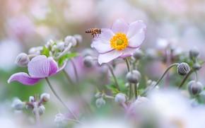 Картинка лето, макро, цветы, пчела, фон, размытие, насекомое, розовые, бутоны, анемоны