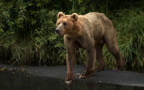 Картинка грудь, трава, взгляд, морда, поза, медведь, стоит, бурый, медведица, мать