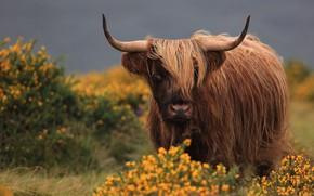 Картинка взгляд, морда, цветы, природа, фон, мохнатый, рога, коричневый, горный, бык, шотландский