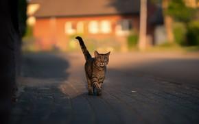 Картинка дорога, кошка, кот, дом, серый, улица, плитка, хвост, прогулка, тротуар, полосатый, гуляка