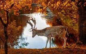 Картинка осень, деревья, природа, город, пруд, парк, животное, олень, Амстердам, Нидерланды, Голландия