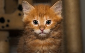 Картинка кошка, взгляд, котенок, фон, портрет, малыш, рыжий, котёнок, мордашка, рыжик, выражение, когтеточка
