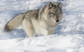 Картинка зима, снег, серый, волк, сугробы, прогулка