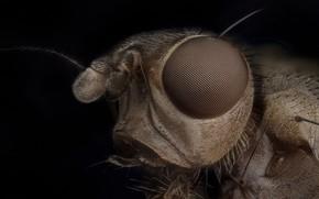 Картинка природа, насекомое, Scathophaga stercoraria