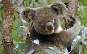 Картинка Австралия, коала, сумчатое